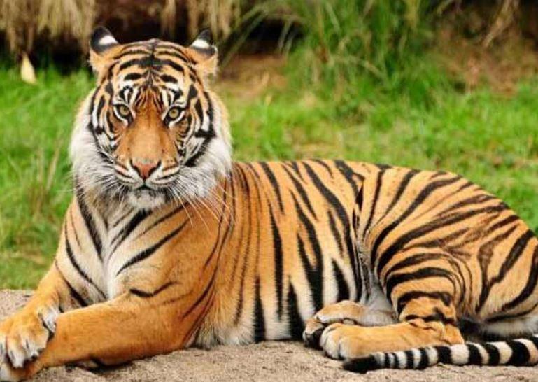 National Animal Of India - भारत का राष्ट्रीय पशु - - National symbols of India # 3